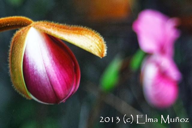 Phragmipedium peruvianum (syn kovachii) photo orchid