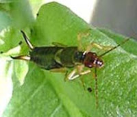The European earwig, one of several dahlia pests