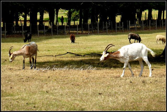 Chèvres goats château de Versailles