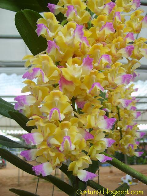 http://2.bp.blogspot.com/-vuPV1qEiUt8/TfnEbhk6EPI/AAAAAAAAAgk/aove_IsQQyY/s1600/Aerides+houlettiana+Orchid+Flower+Picture+03.JPG