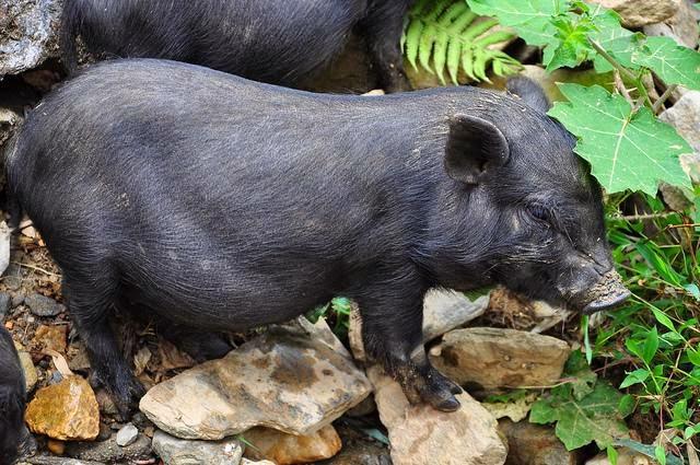 lợn cắp nách - lợn mán