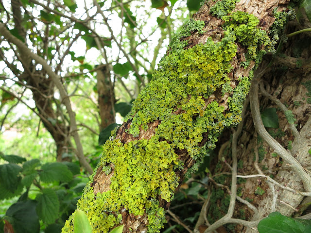 Common Orange Lichen - Xanthoria parietina - turning green because the air is damp