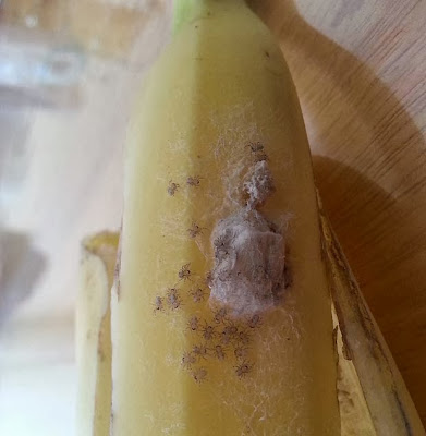 spiders-in-bananas