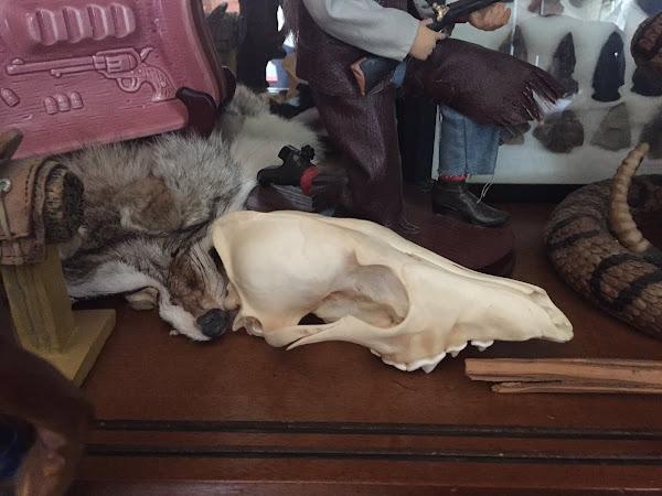 Coyote Skull ~