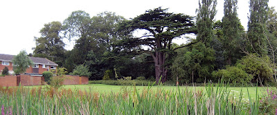 Cedar tree in St Stephen's field