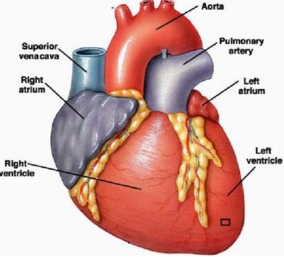 Estudos Medicina: Sistema Cardiovascular