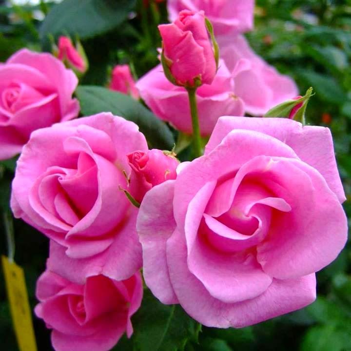 As Rosas Parlam
