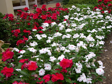 Red and White Vincas