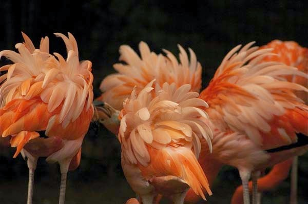 Here Are 24 Awesome Things You Didn't Know About Animals. #11 Just Made My Week. - A group of flamingos is called