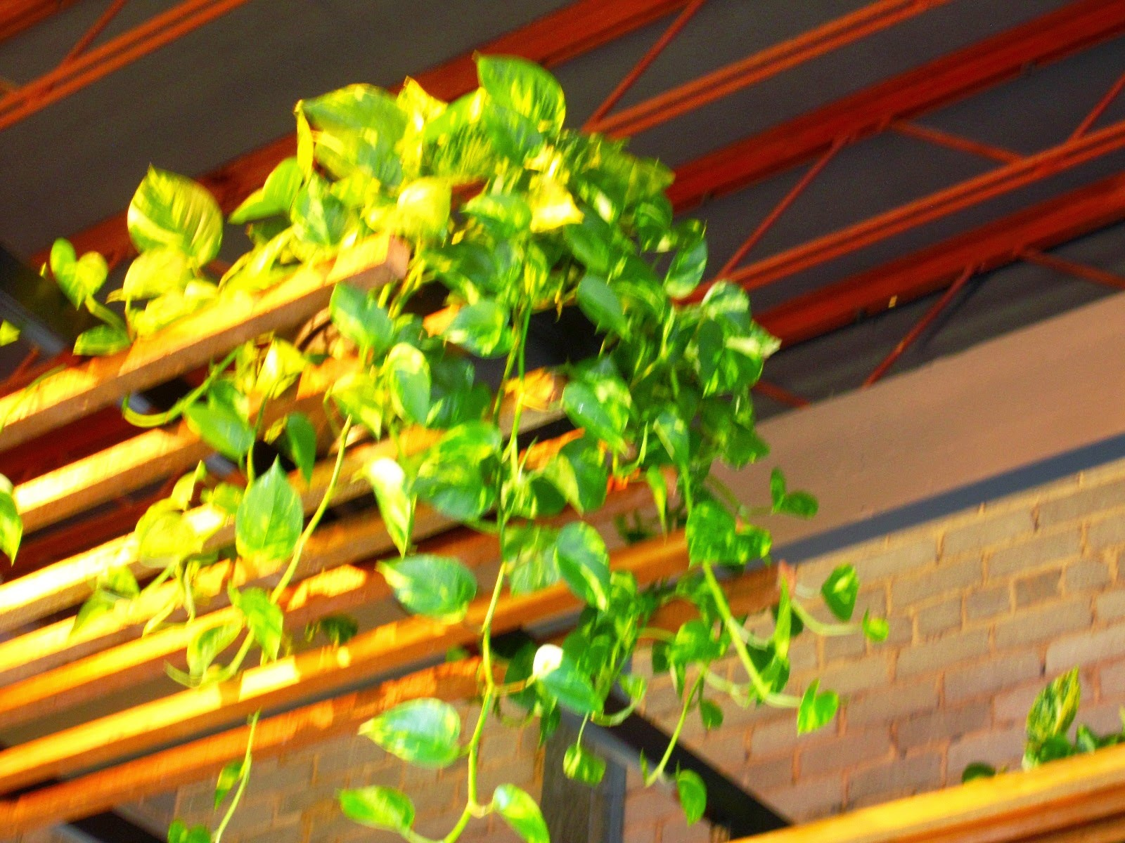 Inside ceiling of Ona cafe, showing rough brick wall, black ceiling with trusses and a suspended ceiling with a pot plant on it.