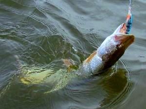 рыбалка на щуку на малых реках видео