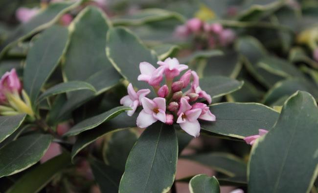 Daphne Flower