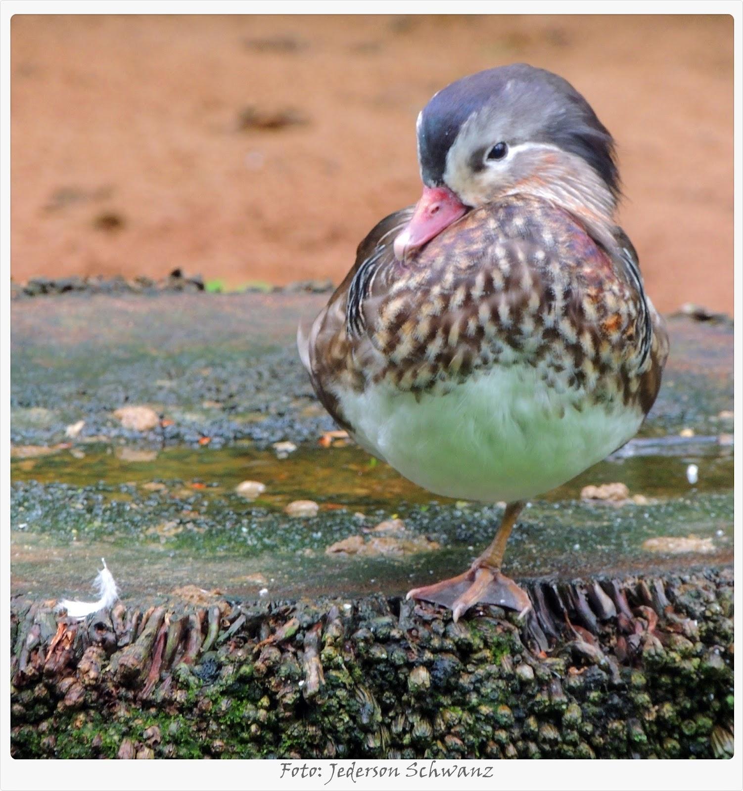pássaros e nossa terra marreco mandarim fêmea aix