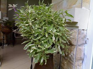 Jual pohon gingseng variegata | supplier tanaman hias | tukang taman dan tanaman