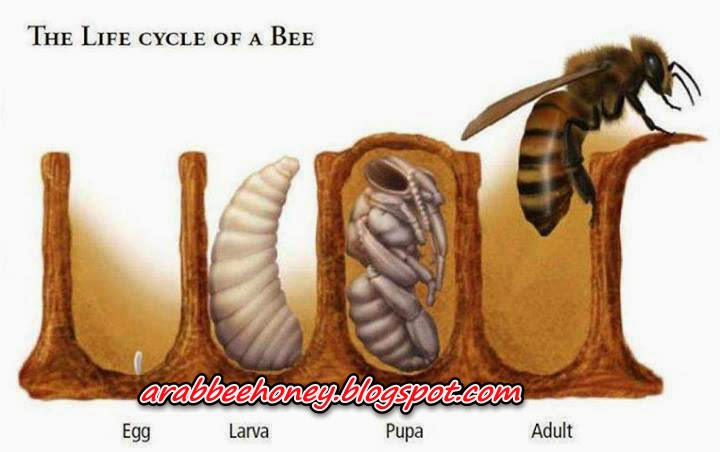 Photo-The life cycle of a bee