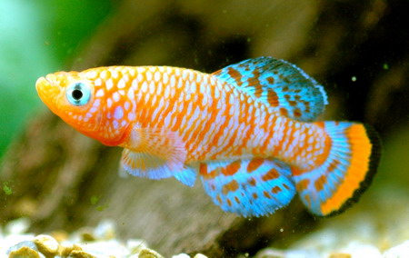 Fish r fish 03 for Japanese ornamental fish