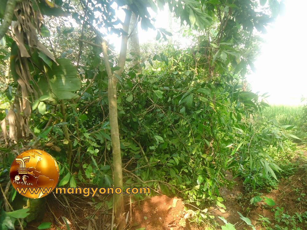 FOTO : Bakalan Bonsai Serut 1