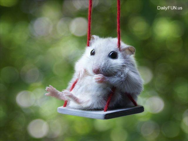 Cute Hamster On Swing