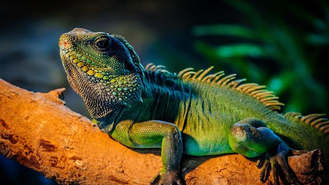 Green Iguana In The Tree Branch HD Wallpaper