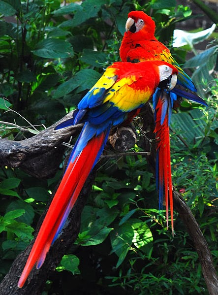 Scarlet Macaw pair