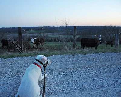 Ziggy watches the cows