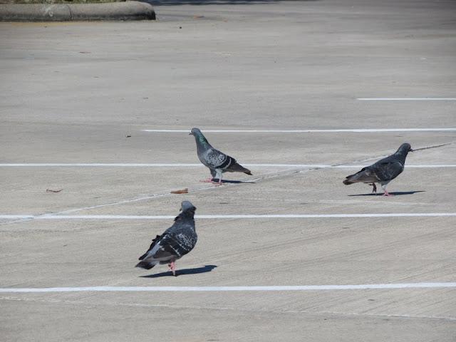 Rock Pigeon, Columb livia