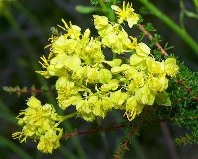 Popflower (Glischrocaryon aureum or angustifolium)