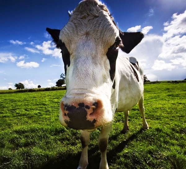 Here Are 24 Awesome Things You Didn't Know About Animals. #11 Just Made My Week. - Cows produce more milk when listening to soothing music