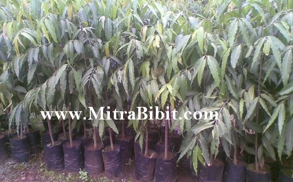 Mengenal pohon glodogan tiang (glodogan pecut), sebagai pohon peneduh
