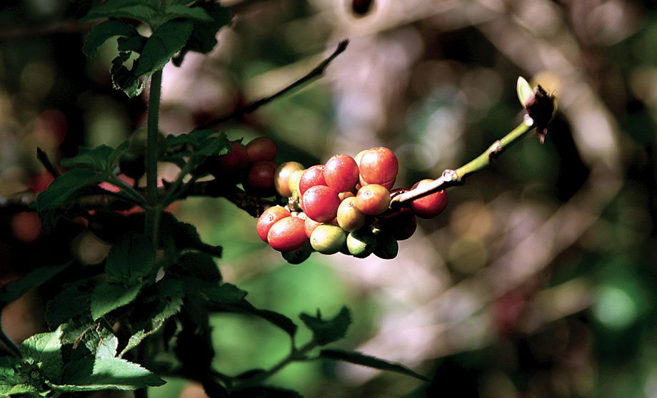 Gcb ekstrakt Har grønn kaffe koffein
