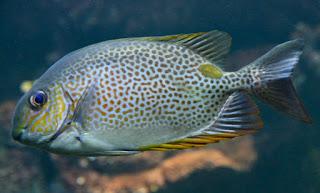budidaya ikan baronang, habitat ikan baronang, harga ikan baronang, klasifikasi ikan baronang, makalah ikan baronang, manfaat ikan baronang, resep ikan baronang, umpan ikan baronang,
