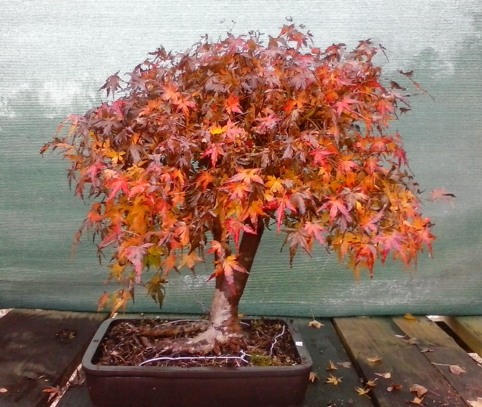 Bonsai Beginnings December 2015