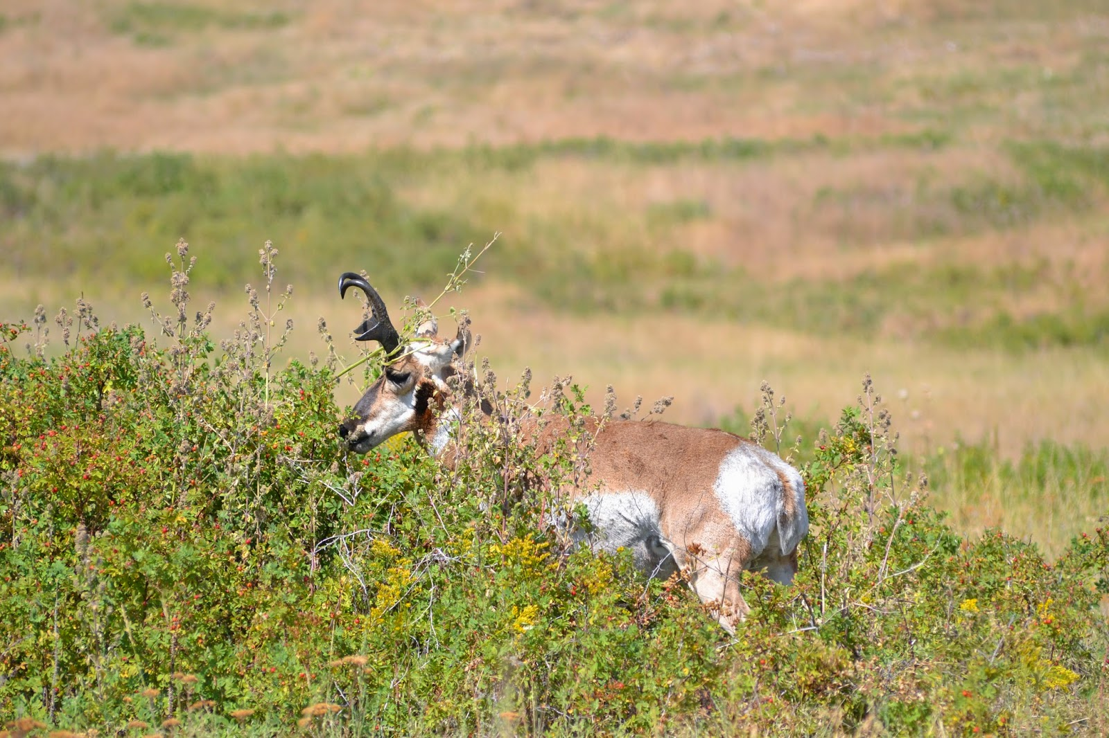 Pronghorn antelope, National Bison Range, Montana