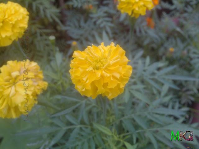 Metro Greens: A yellow marigold bloom