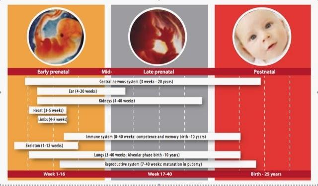 efectos de los disyuntores endocrinos sobre el desarrollo embrionario y la infancia