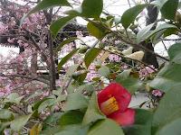 河津桜と椿