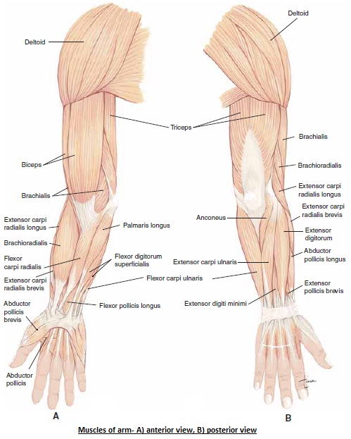 The Human Body Muscles Of Shoulder And Arms