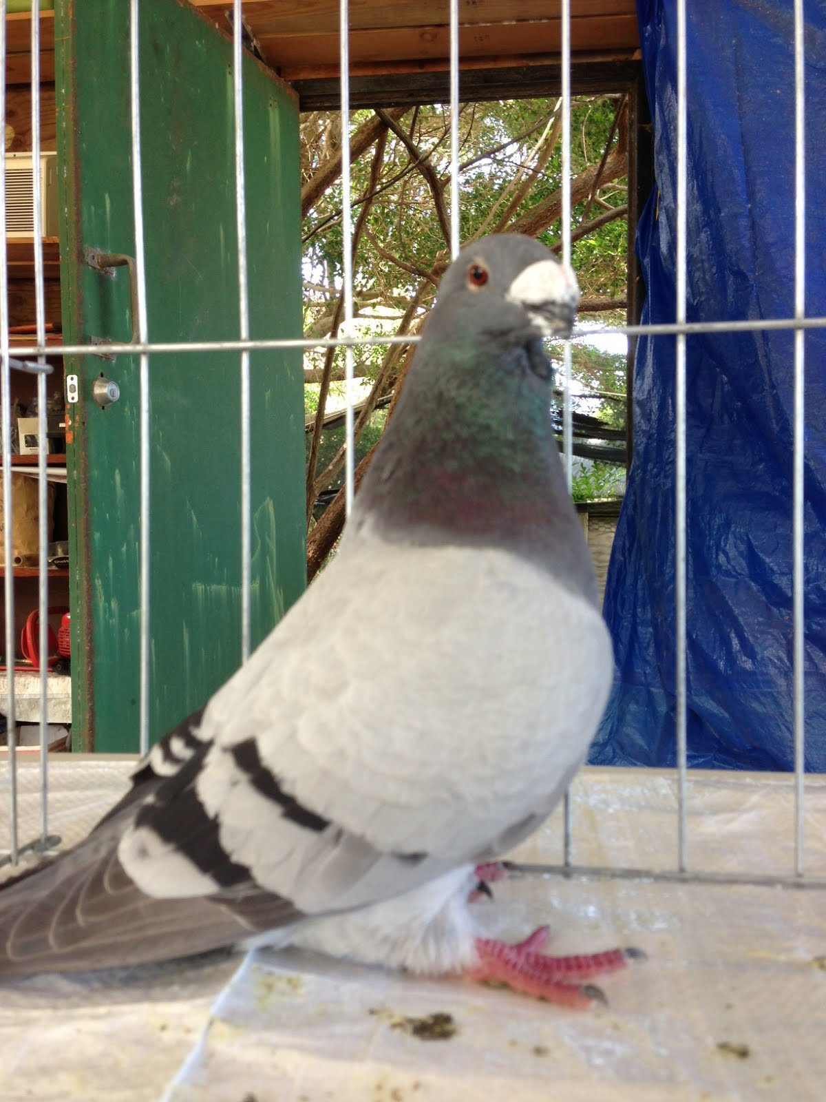 Winner of the hawaii all breed pigeon assoc spring show for Waimanalo feed