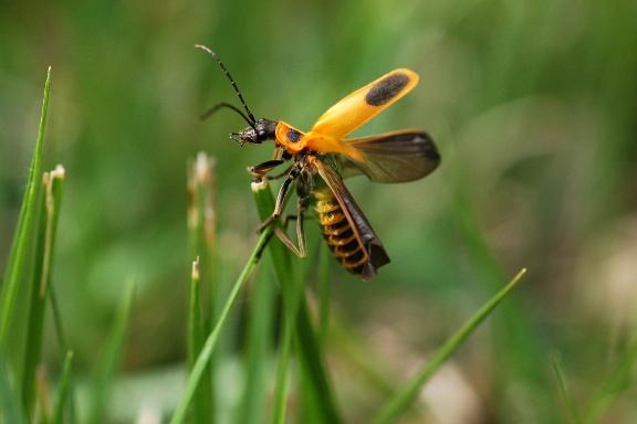 Backyard Bugs       Goldenrod Soldier BeetleGoldenrod Soldier Beetle