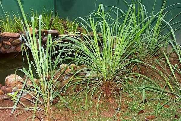 Mosquito Repellent Plant Citronella Grass