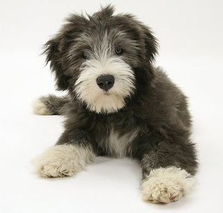 Bearded Collie Puppy Picture