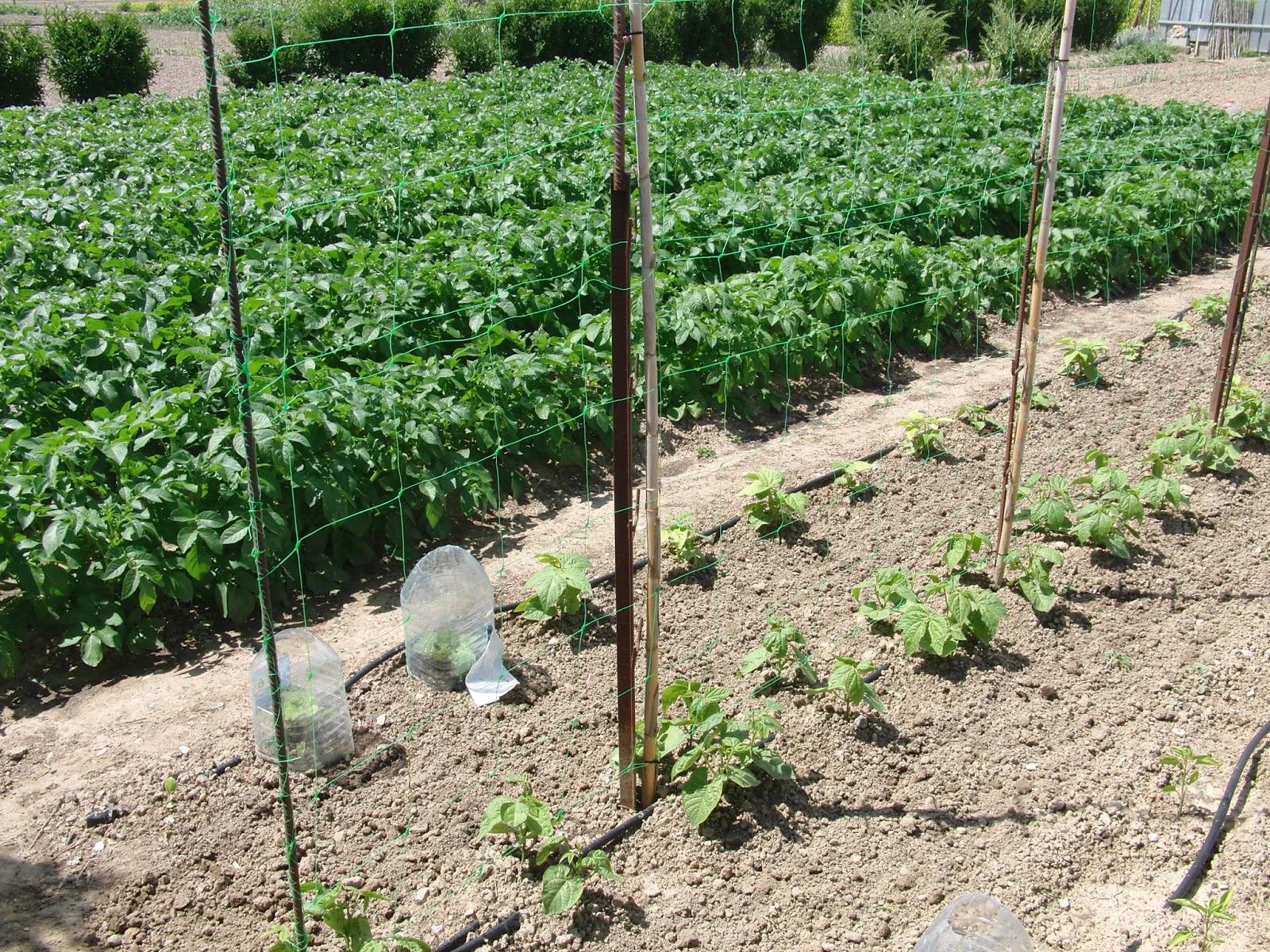 Un huerto familiar judias verdes dia 18 de mayo - Cultivar judias verdes ...