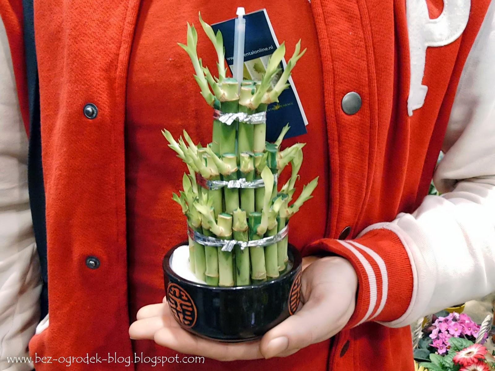 dracena lucky bamboo wieża