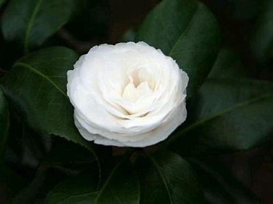 Imagenes y fotos flores fotos de rosas blancas parte 4 - Significado rosas amarillas ...