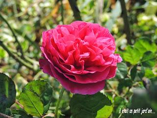 rosier parfumé et remontant