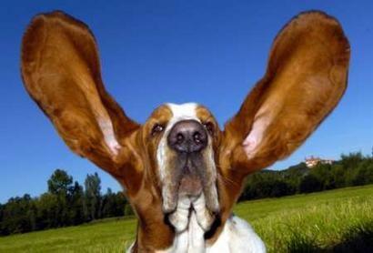 aseo del oido de los perros