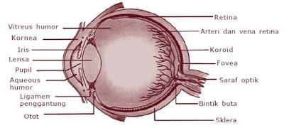 Struktur Anatomi dan Bagian-bagian Mata beserta Fungsinya