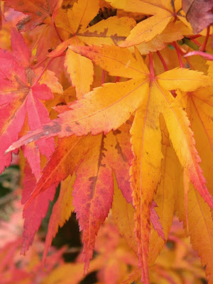 Acer palmatum Mikawa Yatsubusa Japanese maple autumn foliage at Toronto Botanical Garden by garden muses-not another Toronto gardening blog