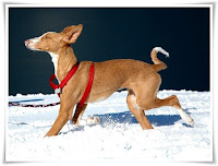 Ibizan Hound Animal Pictures