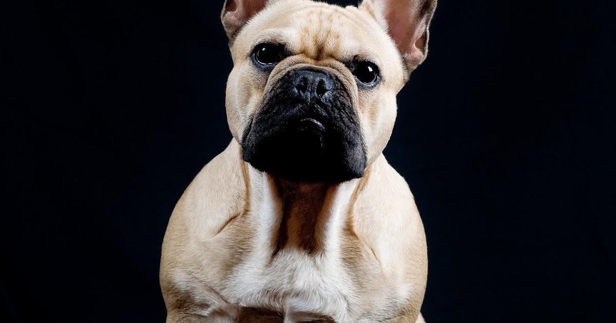 Bulldog franc s fawn para montas valladolid y madrid - Bulldog frances gratis madrid ...